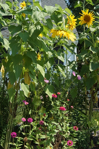 Sunflowers in garden