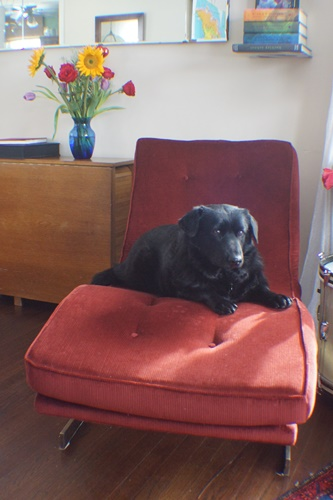 Dog on chaise lounge