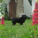 Black dog with spring flowers