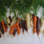 Newly harvested carrots