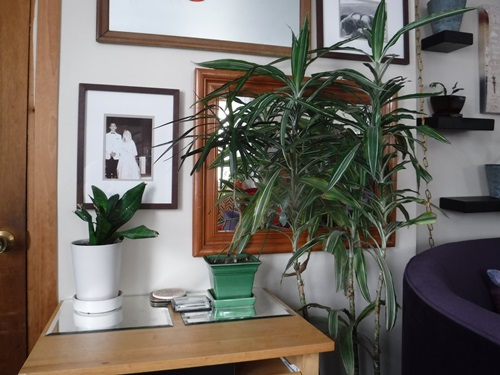 Corn plant in the living room