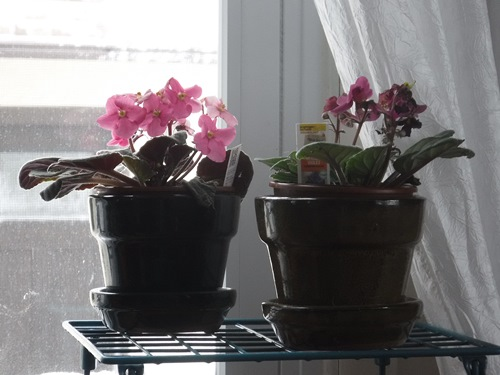African violets in the living room
