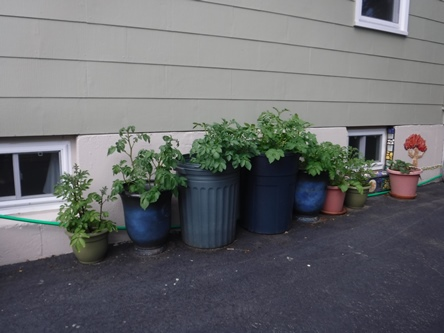 Potatoes in pots in June
